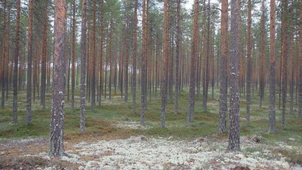 Des pins sylvestre à perte de vue